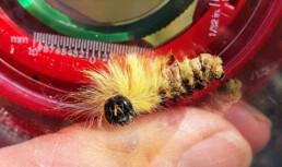 Gul og oransje hårete larve